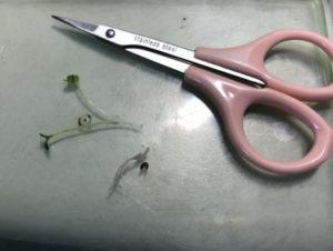 剪刀與苗的比例